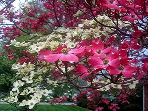 flowering-dogwood-tree-uses